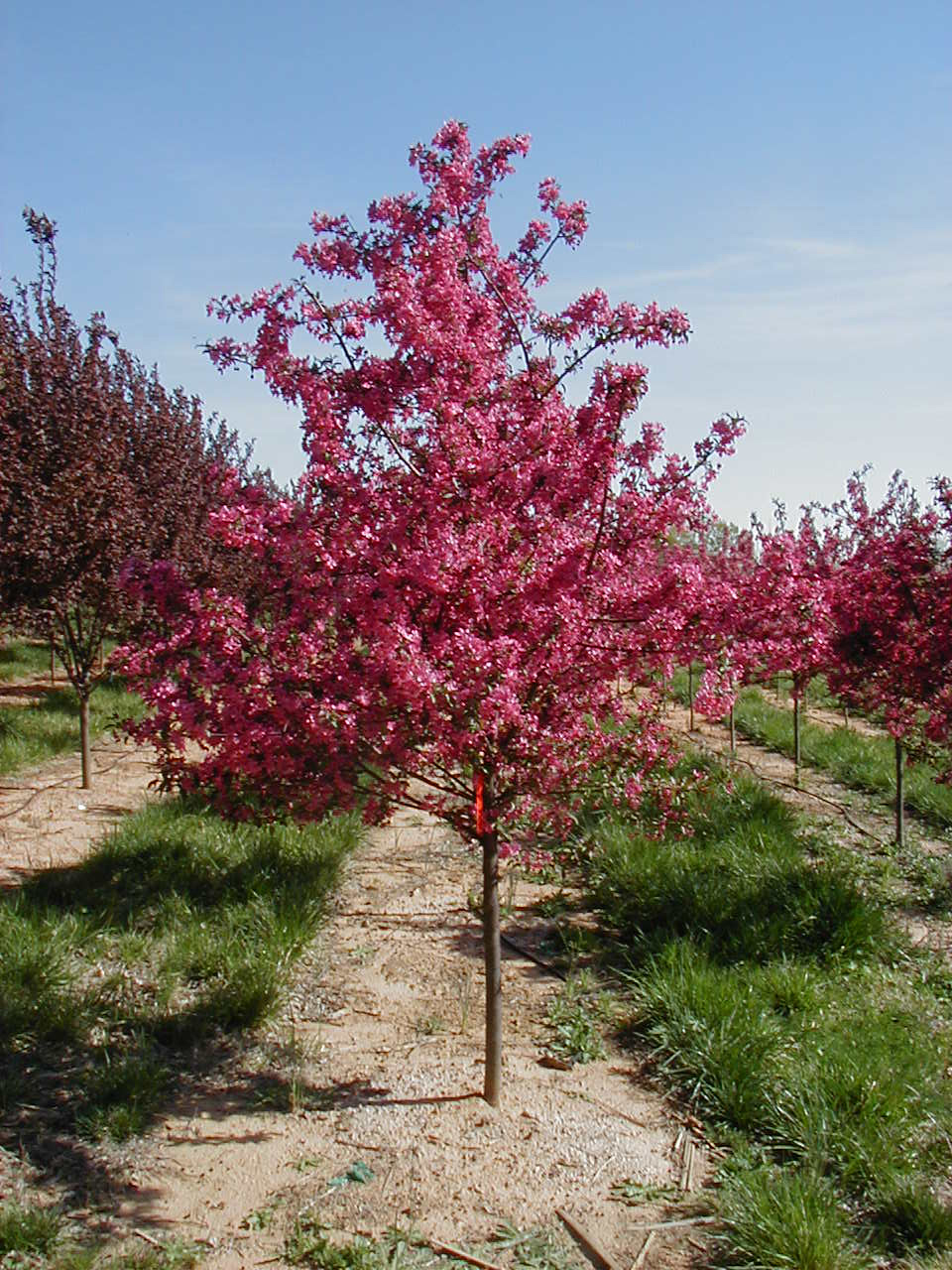 Prairiefire crabapple for Crabapple tree