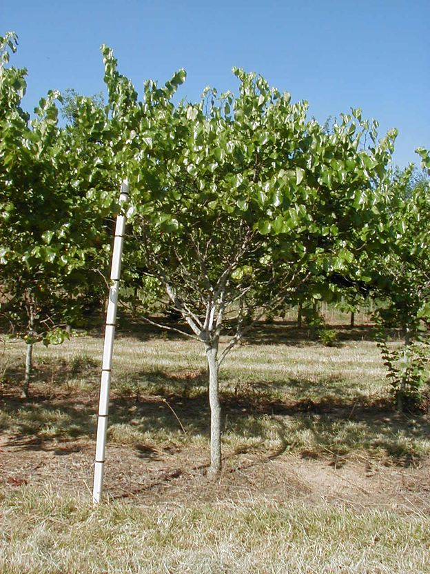 Residential lawn tree small shade tree king s sunset nursery